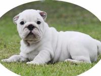 Animal Type: Dogs Breed: Bulldog Azlan, Butch and