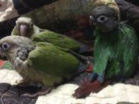 Three green cheeks available, 2 cinnamon females and