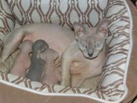 I have three male baby spyhnx kittens. They will come
