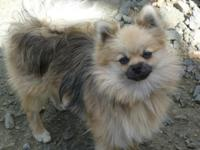 I have three loving and beautiful purebred Pomeranian