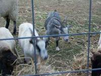 Your choice, three Pygmy Goats, $75 each, . Location: