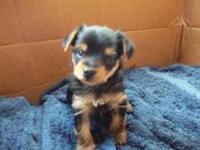 Cute Registered newborn Male Toy Yorkies now! $250