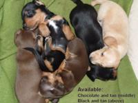 Five beautiful little Dachshund puppies (all male) were