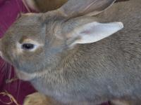 Thumper 2 Years Female Silver Flemish Giant A355990