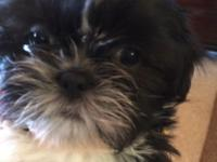 SUMMERDALE, ALABAMA-- $275 Shih Tzu Puppies ~ Four