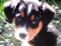Black & Tan Tibetan Mastiff puppy 12 weeks old. Is