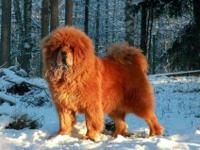 RARE RED CH Line AKC Tibetan Mastiff Puppy Girl!