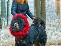 AKC RARE Black and Tan Boy Tibetan Mastiff Puppies Ch