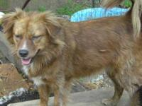 Tibetan Spaniel - Bailey - Small - Senior - Male - Dog