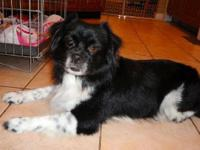 Tibetan Spaniel - Sparky - Small - Adult - Male - Dog
