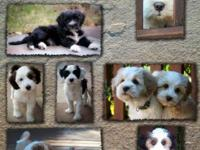 AKC Registered purebred Tibetan Terrier pups. Non-shed