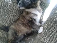 I have a male Tibetan Spaniel he is 8 weeks he has been
