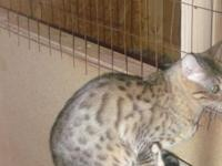 I have 2 bengals that I am wishing to sell. $300 each