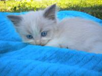 5 beautiful ragdoll kittens born 5/31/12 are now