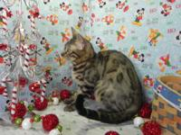 KHALEESI IS A TICA REGISTERRED BROWN ROSETTED BENGAL