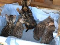 Taking deposits for these stunning Bengal kittens. Pet