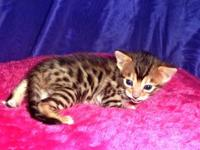 We have three litters of bengals kitties that will be