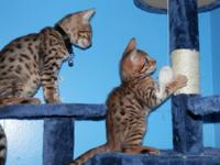 Gorgeous male SBT Bengal kittens. F5. Brown spotted and