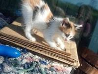 TICA registered Ragdoll kittens, 11 weeks old, vet