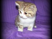 New trash of British Shorthairs ... Ready now! Sire: