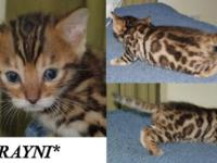 Beautiful Brown rosetted Bengal kittens! These two