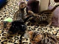 I have 6 gorgeous Bengal kittens that will be ready on