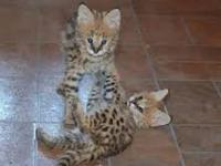 ththth TICA F1 Savannah kittens For Sale XXX. Kindly