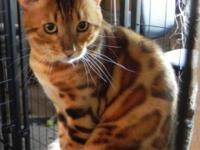 TICA GOLDEN BENGAL 2 YR. OLD MALE. PRODUCES BEAUTIFUL