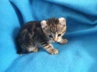 Highlander Kittens TICA Registered We have a few