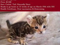 TICA Highlander Kittens Ready March 19 They are raised