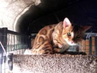 DROGO IS A BEAUTIFUL GOLDEN BENGAL TICA REGISTERED MALE