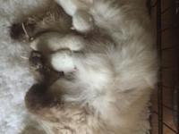 We now have Snow White, Chocolate and Seal Ragdoll