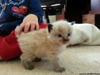 Tica purebred Ragdoll kittens, 2 boys and 1 girl. We
