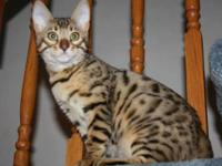 12 weeks old male Bengal kitten, Ready to go NOW! He