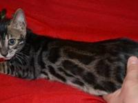 Beautiful Tica registered bengal kitten, UTD on age