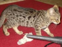 Male Silver Bengal with Black spots. 10 weeks old.