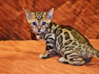 Animal Type: Cats Breed: Bengal Blue Eyes Bengal