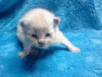 WE HAVE THIS SEAL POINT MINK RAGDOLL KITTEN LEFT FOR