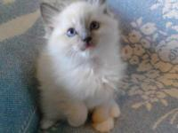 WE NOW HAVE BLUE RAGDOLL KITTENS THAT WILL BE READY FOR