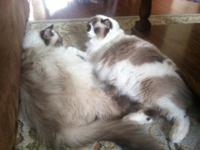 TICA Reg Ragdoll Kittens available for sale. Now taking