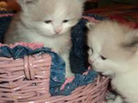 BEAUTIFULL 4 WEEK OLD SEALPOINT RAGDOLL BABIES--HAVE 2