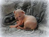One gorgeous, sweet Sphynx infant woman offered now-