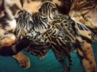 Female Bengal kittens. Ready Oct 24. 650 each. Taking
