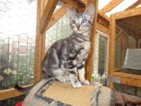Raine is a 6 month old TICA Registered female Bengal