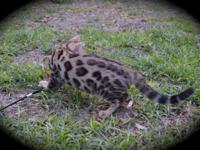 Beautiful, sweet tempered 14 week old bengal female