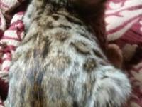 Tica registered Beautiful bengal female kitten. Huge