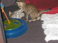 TICA Registered Bengal Kittens. Males and females