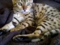 I currently have available four brown spotted bengals-