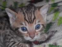 3 TICA Registered bengal kittens for sale 2 male brown