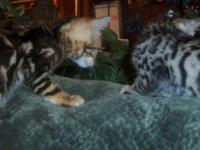 TICA Registered bengal kittens ready for new homes now